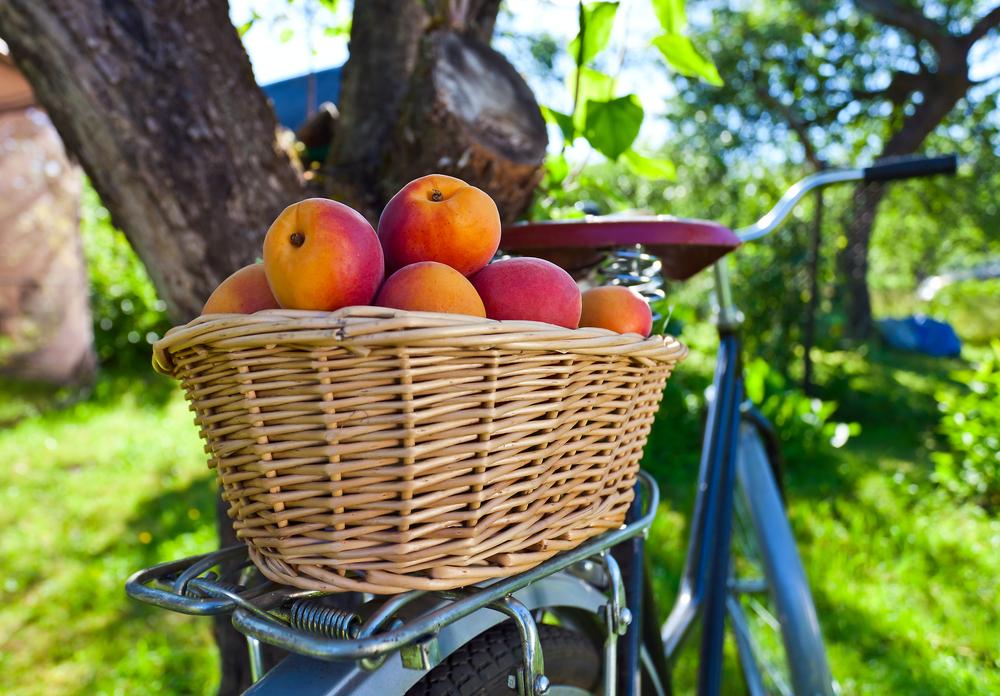 In bicicletta: raccogliamo albicocche