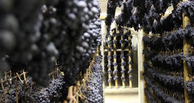 appassimento delle uve serrapetrona